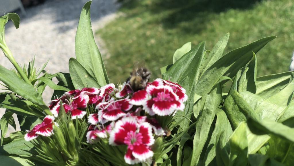 Insektensterben: Weniger Hummeln