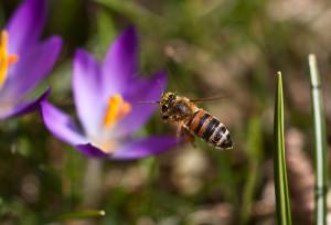 Biene vor Blüte