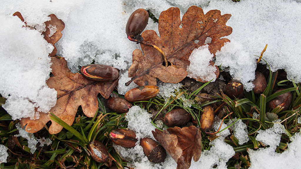 Eicheln im Winter